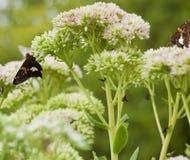 sedum красного цвета бабочки admiral красивейшее bl Стоковые Фотографии RF