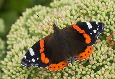sedum красного цвета бабочки admiral Стоковые Фотографии RF
