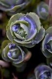 sedum макроса Стоковое Фото