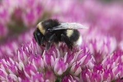 sedum пчелы розовое стоковое изображение rf