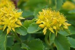 Sedum цветков цветков весны желтое стоковая фотография rf