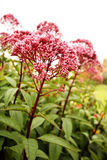 "Sedum ""Ruby Glow"" Stockfoto"