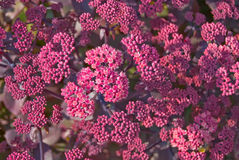 Sedum Stock Photo
