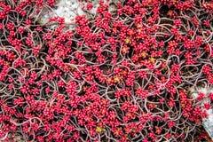 石头和植物纹理-红色sedum 图库摄影