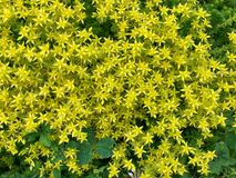 Free Sedum Acre, A Perennial Herbaceous Succulent Plant In The Crassulaceae Family. Small Yellow Flowers Covering The Ground. Natural Stock Photos - 200066953