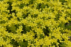 Sedum acre. Blooming on flowerbed or rockery royalty free stock images