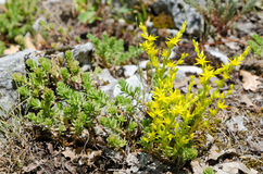 Sedum acre Stock Images
