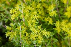 Free Sedum Acre Or Goldmoss Stonecrop,  Mossy Stonecrop, Goldmoss Sedum. Stock Photos - 151082663