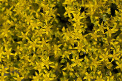 Sedum acre Stock Photos