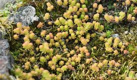 Sedum album Royalty Free Stock Photography