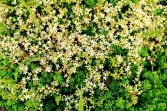 Sedum Albumowy kwiat Fotografia Royalty Free