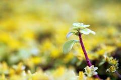 Sedum amarillo Fotografía de archivo libre de regalías