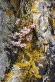 Sedum Anglicum en Staffin en la isla de Skye Foto de archivo