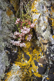 Sedum Anglicum at Staffin on the Isle of Skye. Sedum Anglicum on the Trotternish coast on the Isle of Skye Stock Photo