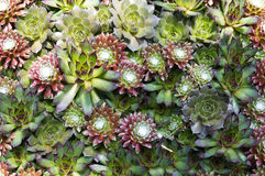 Sedum arrangement Royalty Free Stock Images