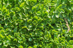 Sedum background Stock Photography