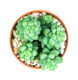 Sedum burrito Moran, sukulent roślina w garnku na białym backgroun Zdjęcia Royalty Free
