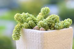 Sedum burrito succulents cactus plant. stock photos