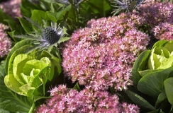 Sedum and cabage flowers Royalty Free Stock Photography