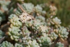Sedum clavatum flower. S. clavatum is a succulent plant in the family Crassulaceae. It has white, star-shaped flowers in mid to late spring to early summer Royalty Free Stock Photo