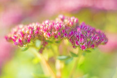 Sedum Stock Photography