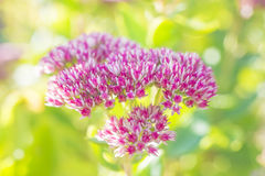 Sedum Royalty Free Stock Photos