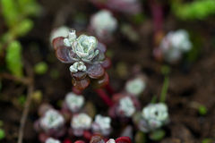 Sedum close up in a garden with water drop. Sedum flower close up in a garden with water drop Royalty Free Stock Photo
