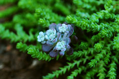 Sedum close up in a summer city park.  Royalty Free Stock Photography