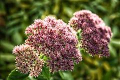 Sedum cor-de-rosa no fundo de plantas verdes Fotos de Stock