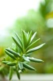 Sedum, crassula, muurpeper Stock Foto