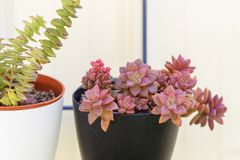 Sedum and Crassula perfolata succulent plant in flower pot on whte background. royalty free stock images