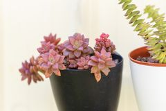 Sedum and Crassula perfolata succulent plant in flower pot on whte background. royalty free stock photos
