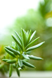 Sedum, crassula, stonecrop Στοκ Εικόνες