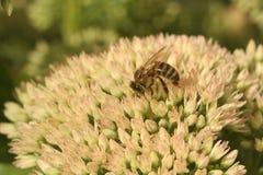 Sedum de la flor con la abeja Fotografía de archivo libre de regalías