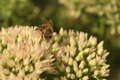 Sedum de la flor con la abeja Imagen de archivo libre de regalías