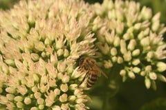 Sedum del fiore con l'ape Fotografie Stock Libere da Diritti