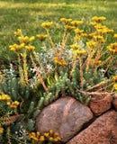 Sedum del flor Foto de archivo libre de regalías