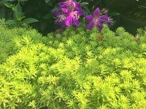 Sedum del musgo del oro, jardín precioso foto de archivo libre de regalías
