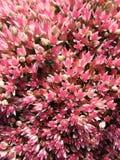Sedum di fioritura prominente, o sedo (sedum) Fotografie Stock