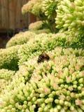 Sedum en Honey Bee Stock Afbeeldingen