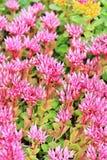 Sedum false. `Purpurea` lat. Sedum spurium `Purpurea`. Decorative garden plant with pink flowers Stock Image