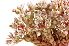 Sedum or Feverish grass Royalty Free Stock Image