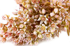 Sedum or Feverish grass Stock Images