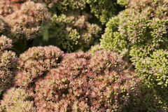 Sedum Flower Background Stock Photo
