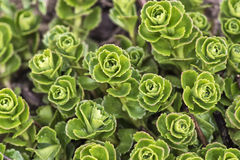 Sedum flower in a garden Royalty Free Stock Photos