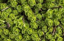 Sedum flower. Green sedum flower in Hungary Stock Images