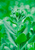 Sedum. Flowering plant. Stonecrop Royalty Free Stock Images