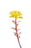 Sedum flowers Royalty Free Stock Images
