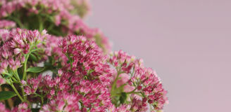 Sedum flowers bouquet Royalty Free Stock Images