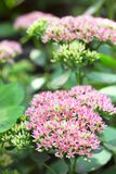 Sedum flowers closeup Royalty Free Stock Photos